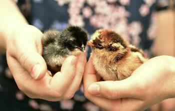 formation en élevage avicole